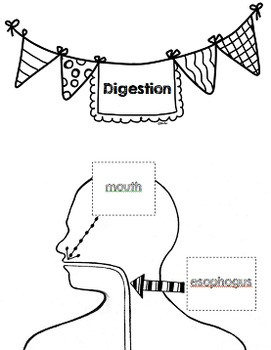 Digestive System Diagram Activity