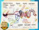 Digestive System Overview PPT & optional doodle notes