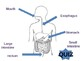 Digestive System Interactive PowerPoint