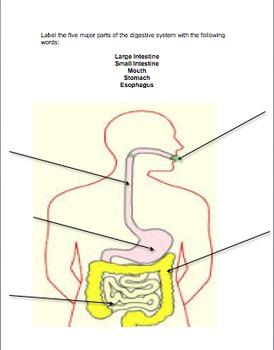 Digestive System Labeling