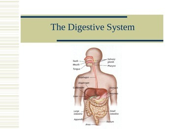 Digestive System Notes
