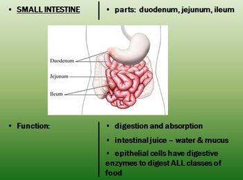 Digestive System Notes Package Powerpoint Presentations