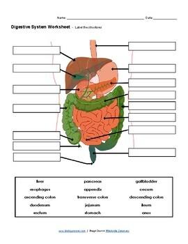 Digestive System Worksheet (KEY) by Biologycorner | TpT