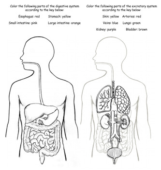 Digestive and Excretory System Interactions