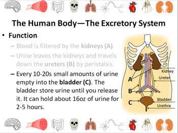 Human Body: Digestive and Excretory Systems Powerpoint Slide Show