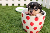 Dog in Cup Digital Puzzle VIPKID