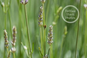 Dollar Stock Photo 1 Ladybug on Lavender