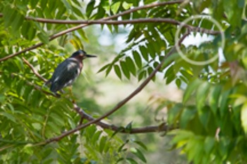 Dollar Stock Photo 100 Green Heron in a Tree
