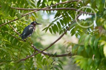 Dollar Stock Photo 100 Green Heron in a Tree