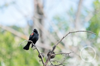 Dollar Stock Photo 101 Red Winged Black Bird