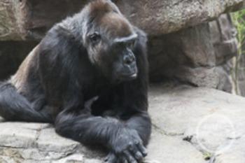 Dollar Stock Photo 102 Resting Gorilla