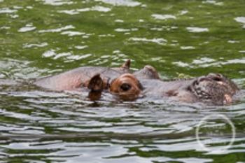 Dollar Stock Photo 106 Swimming Hippo