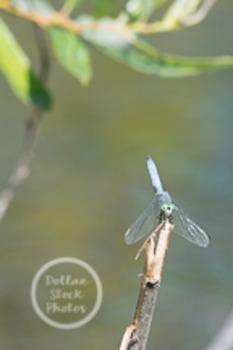Dollar Stock Photo 11 Dragonfly