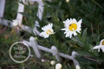 Dollar Stock Photo 12 Ladybug on a Daisy