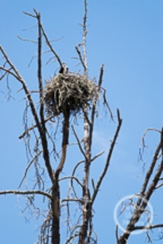 Dollar Stock Photo 121 Osprey in a Nest in a Tree