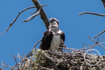 Dollar Stock Photo 122 Osprey in a Nest