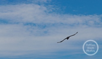 Dollar Stock Photo 126 Bird Flying in the Sky