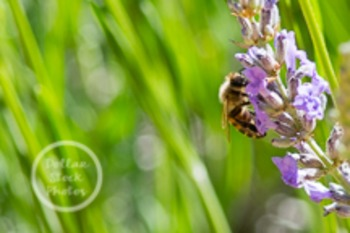 Dollar Stock Photo 132 Bee on Lavender