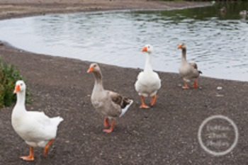 Dollar Stock Photo 131 Geese in a Row