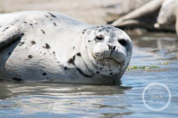 Dollar Stock Photo 14 Harbor Seal Smile
