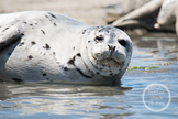 Dollar Stock Photo 14 Harbor Seal Smile
