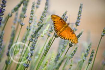 Dollar Stock Photo 141 Orange Butterfly