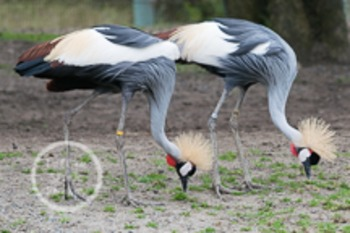 Dollar Stock Photo 143 African Crowned Cranes