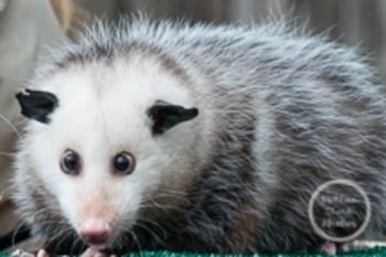 Dollar Stock Photo 144 Opossum