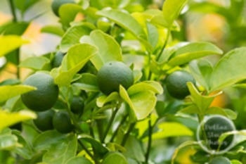 Dollar Stock Photo 147 Citrus Tree