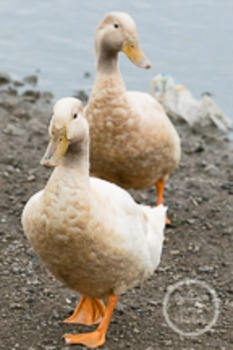 Dollar Stock Photo 148 Geese