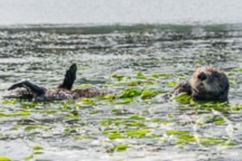 Dollar Stock Photo 15 Sea Otter
