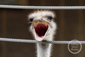 Dollar Stock Photo 151 Ostrich Scream