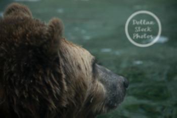 Dollar Stock Photo 16 Contemplative Grizzly Bear