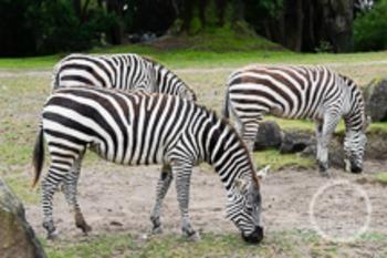 Dollar Stock Photo 162 Zebras
