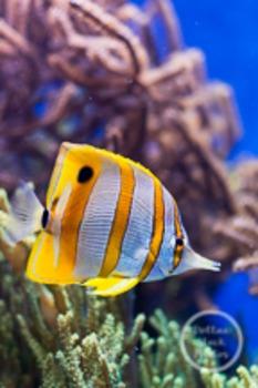 Dollar Stock Photo 166 Butterfly Fish