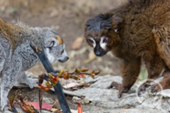 Dollar Stock Photo 169 Lemurs
