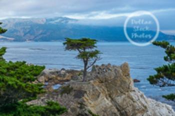 Dollar Stock Photo 17 Cypress Tree Pacific Coast