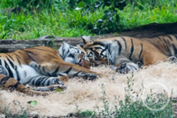 Dollar Stock Photo 170 Sleeping Tigers