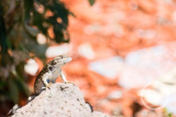 Dollar Stock Photo 175 Lizard on a Rock
