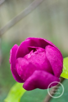 Dollar Stock Photo 187 Purple Flower