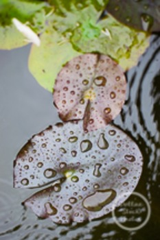 Dollar Stock Photo 191 Lily Pads in Rain