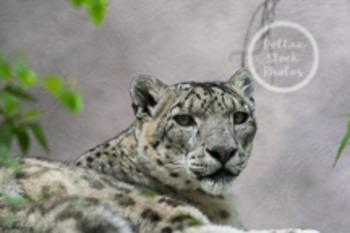 Dollar Stock Photo 2 Snow Leopard