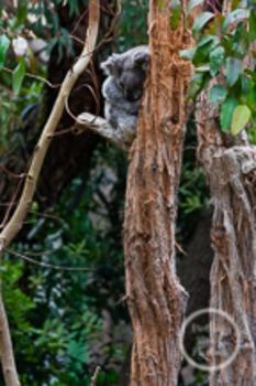 Dollar Stock Photo 200 Sleeping Koala