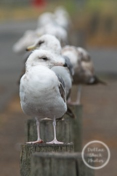 Dollar Stock Photo 21 Seagulls In a Row