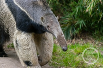 Dollar Stock Photo 22 Giant Anteater