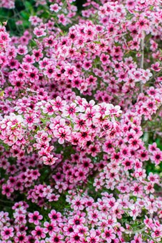 Dollar Stock Photo 233 Pink Flowers Tall