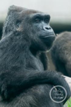 Dollar Stock Photo 24 Serious Gorilla