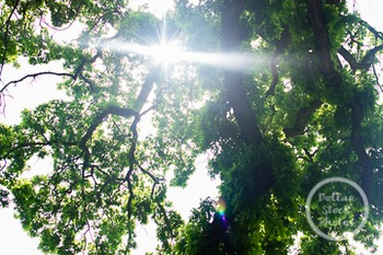 Dollar Stock Photo 241 Sun through the Trees