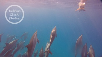 Dollar Stock Photo 251 Spinner Dolphins Surfacing