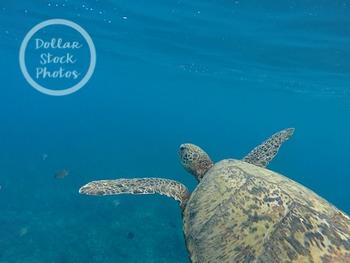 Dollar Stock Photo 252 Hawaiian Green Sea Turtle